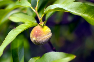 Peachtree found in abandoned lot for future community garden